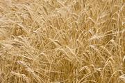 Куплю ячмень рапс пшеницу подсолнечник