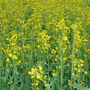 Куплю кукурузу ячмень рапс подсолнечник сою пшеницу дорого